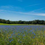 Korenbloemen veld Montferland / Zeddam